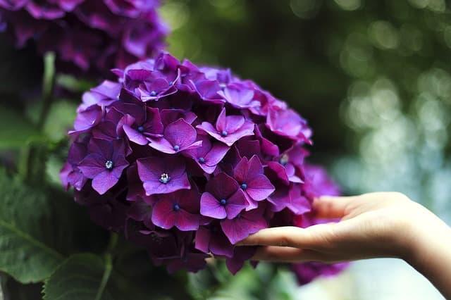 紫色のアジサイに手をのべて触れる女性の画像