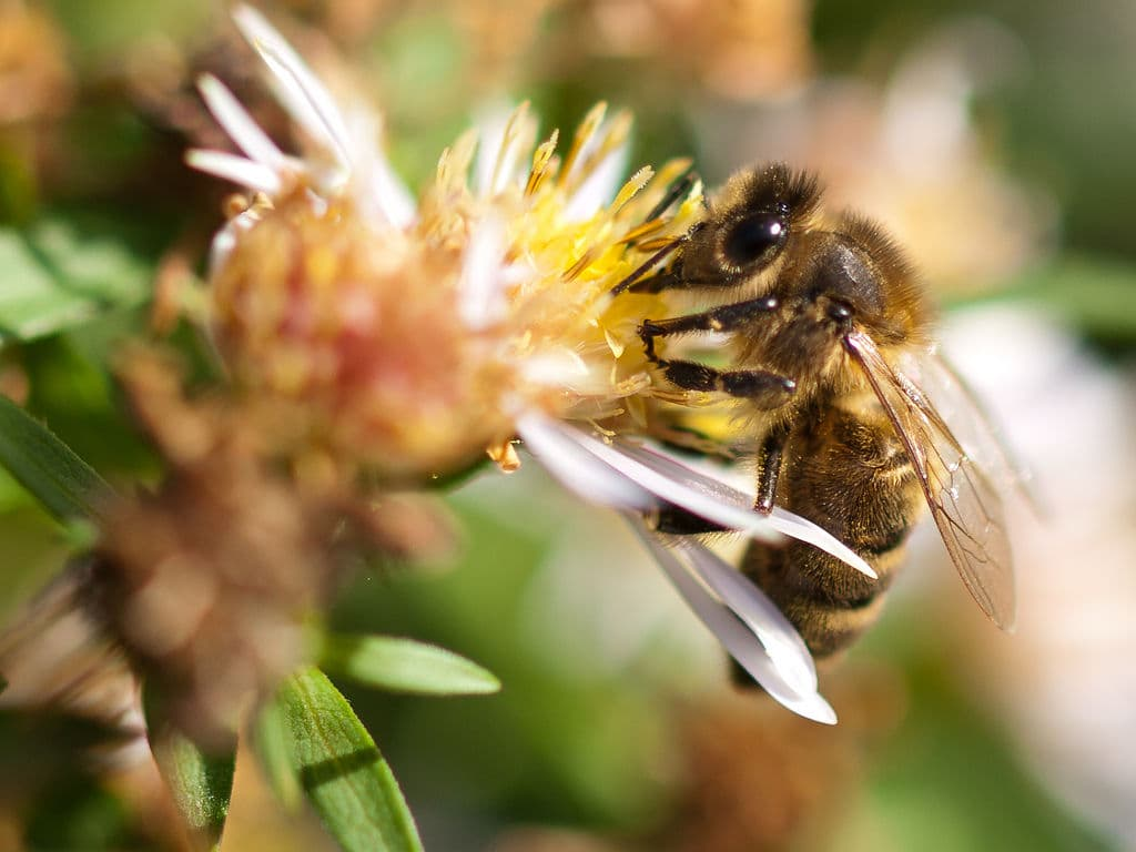 Honey bee By wwarby
