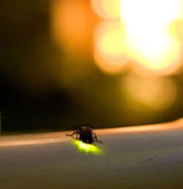 都内にあったホタルの名所!『椿山荘 ほたるの夕べ2012』