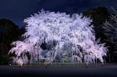見頃のピーク!六義園の『しだれ桜と大名庭園のライトアップ』